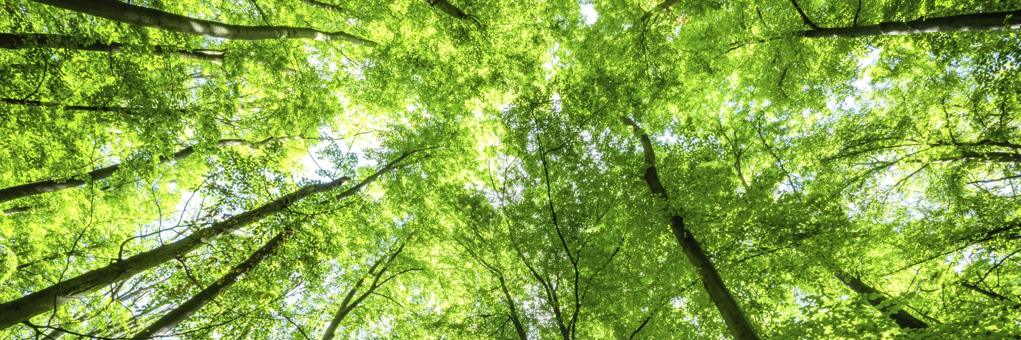 Sunlight_In_A_Beech_Tree_Forest.jpg